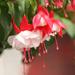 Angel Earrings Double Red - Lady's Eardrops - Fuchsia Plant