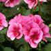 Americana Rose Mega Splash - Zonal Geranium Plant