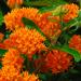 Tuberosa - Milkweed - Asclepias Plant