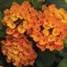 Bandana Orange - Shrub Verbena - Lantana Plant