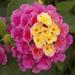 Bandana Pink - Shrub Verbena - Lantana Plant