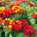 Bandana Red - Shrub Verbena - Lantana Plant