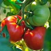 Better Boy - Tomato Plant