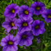 Callie Calibrachoa Dark Blue