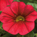 Calibrachoa Callie Dark Red