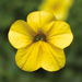 Calibrachoa Callie Yellow Improved