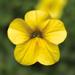 Calibrachoa Callie Yellow Improved