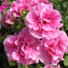 >Double Wave Pink - Petunia Plant