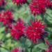 Fireball - Bee Balm - Monarda Plant