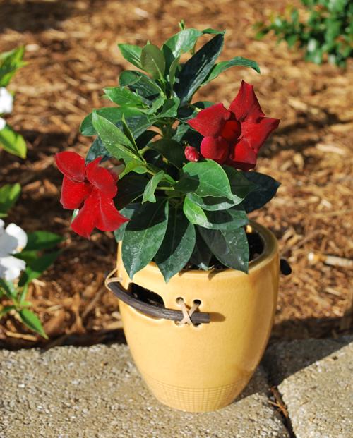 Sun Parasol Garden Crimson Rocktrumpet Mandevilla Plant