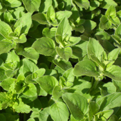 Greek Oregano - Herb Plant