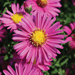 Hazy Dark Pink - Fall Aster Plant