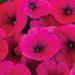 Hells Glow Petunia Flower