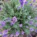 Hidcote Lavender - Herb Plant
