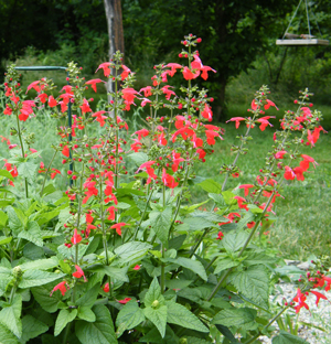 Lady In Red Salvia Live Plant 2 5 Inch Pot