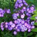 Laura - Garden Phlox Plant