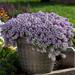 Lavender Stream - Sweet Alyssum - Lobularia Plant