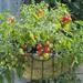 Lizzano - Cherry Tomato Plant