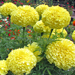 Inca II Yellow - African Tagetes - Marigold Plant