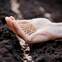 Sowing organic vegetable seeds in the garden