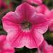 Petunia Dekko Star Rose
