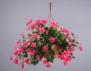 Sun Parasol Original Pink Rocktrumpet Mandevilla Plant