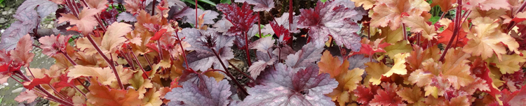 Potted Heuchera Plants