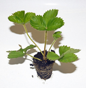 Fall Potted Strawberry Plants for Sale