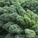 Prizm - Kale Plant