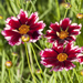 Ruby Frost - Tickseed - Coreopsis Plant