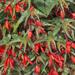 Santa Cruz - Tuberous Begonia Plant