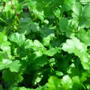 Santo Cilantro - Herb Plant