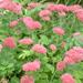 Autumn Joy - Stonecrop - Sedum Plant