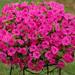 Surfinia Sumo Pink - Petunia Plant
