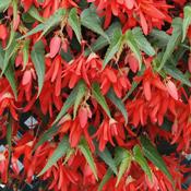 Begonia Plants For Sale Growjoy Com