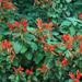 Uruguayan Firecracker - Hummingbird Dicliptera Plant