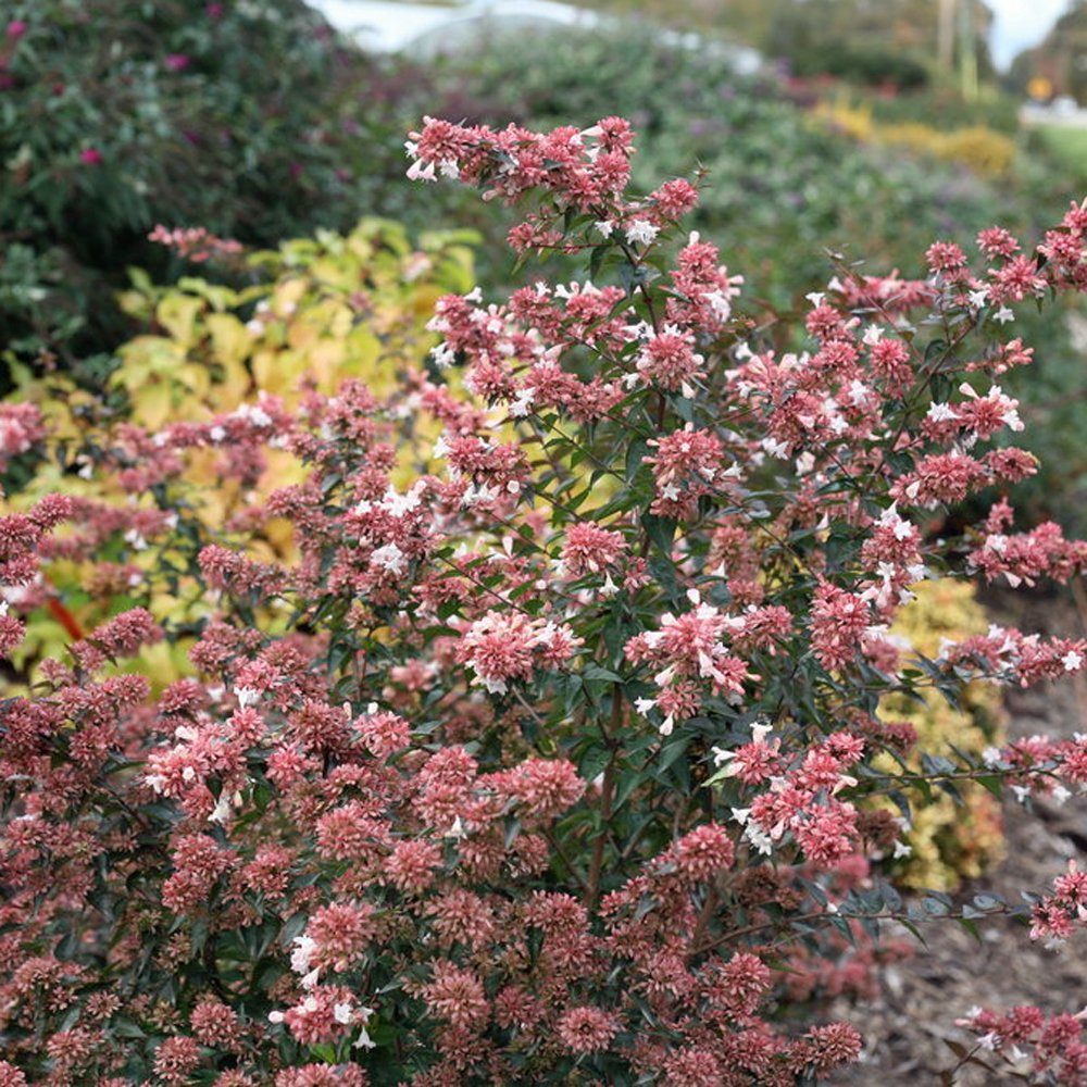 Ruby Anniversary Abelia Plant For Sale Free Shipping