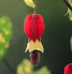 Abutilon Plants For Sale Flowering Maple Free Shipping