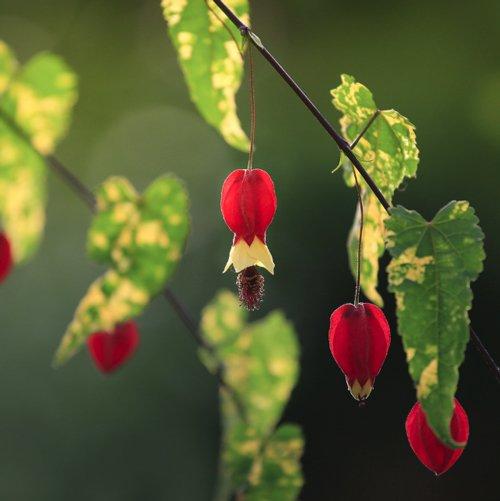 Chinese Lantern Abutilon Plants For Sale Flowering Maple Free