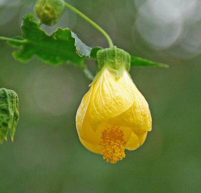 Yellow bells abutilon live plant 25 inch pot mightylinksfo