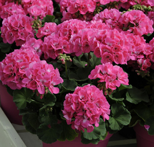 Americana pink geranium live plant 25 inch pot mightylinksfo