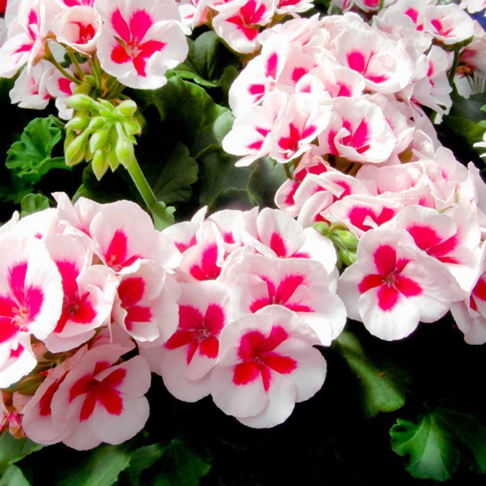 Americana White Splash Zonal Geranium Plant Growjoy Com