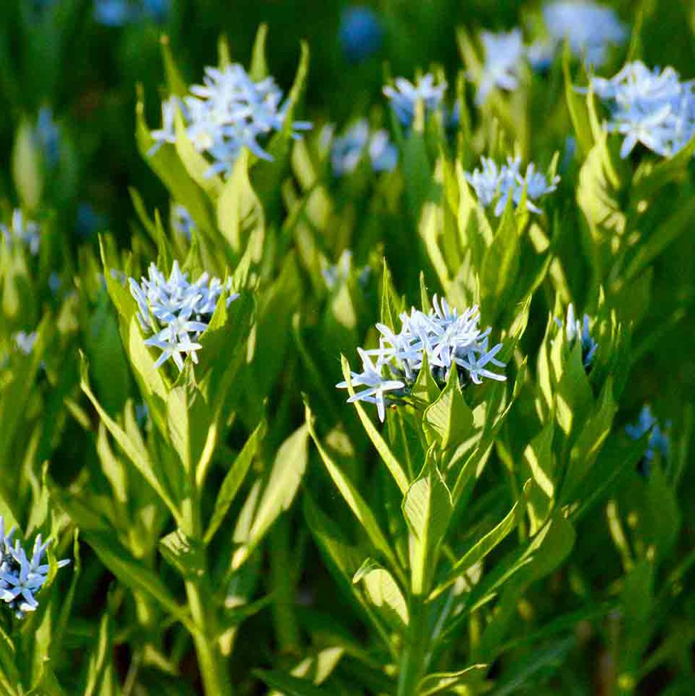 Blue Ice Blue Star Amsonia Plant Growjoy