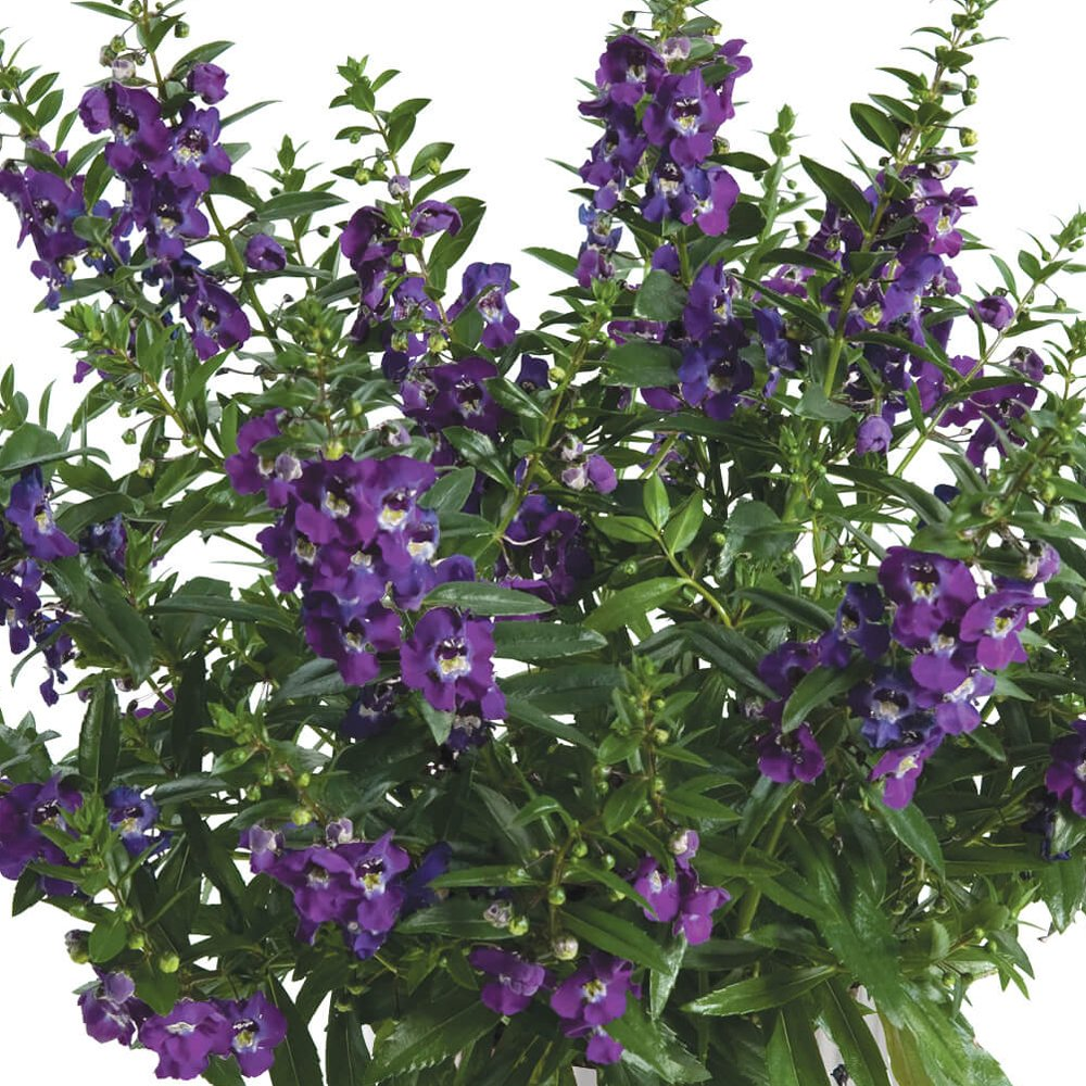 Angelonia Alonia Big Blue Summer Snapdragon Plant 25 Inch Pot