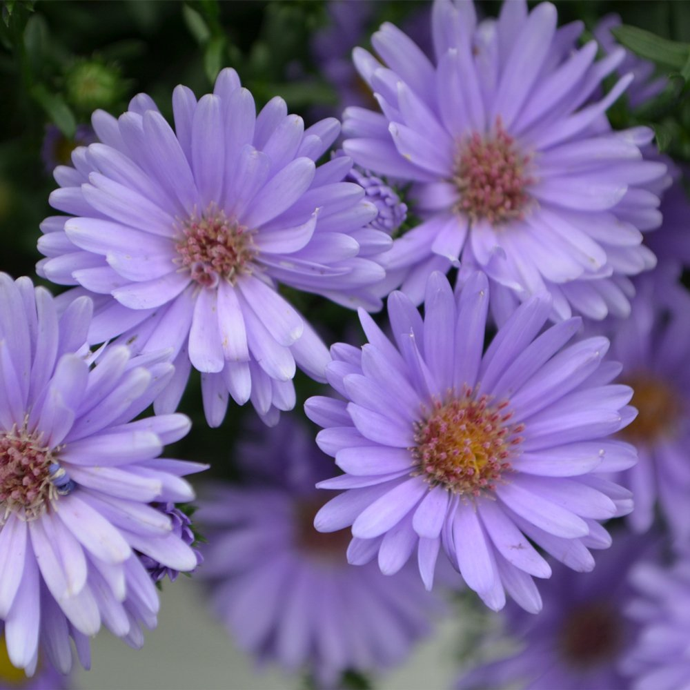Aster Days Blue Fall Aster Plant 25 Inch Pot