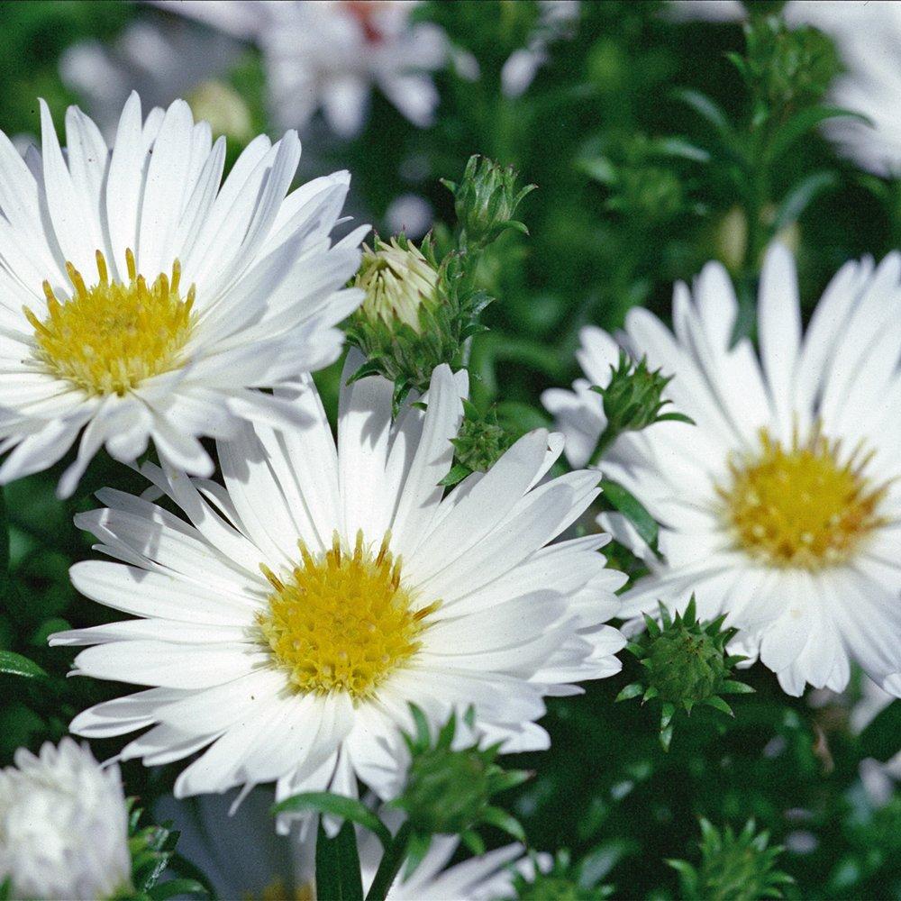Puff White Aster Plant Growjoy