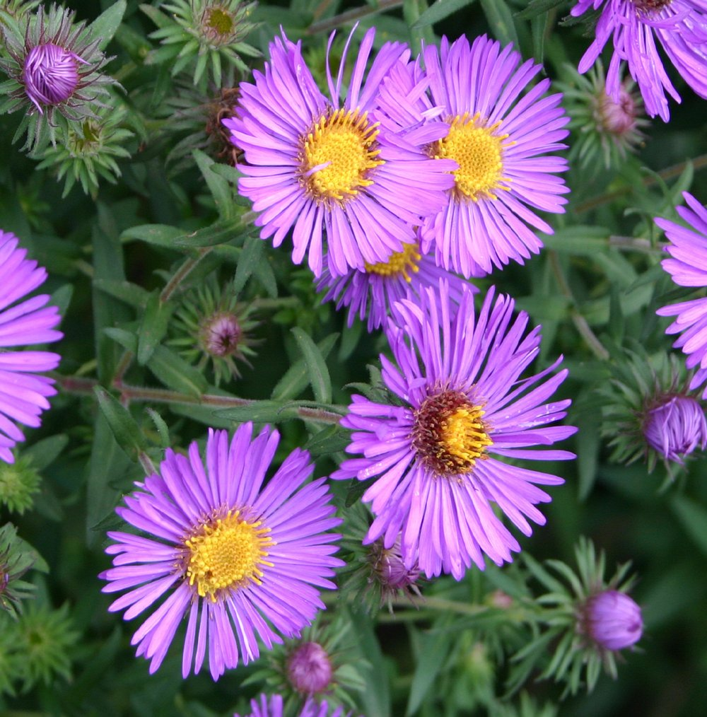 Purple Dome Aster Plants for Sale   Free Shipping