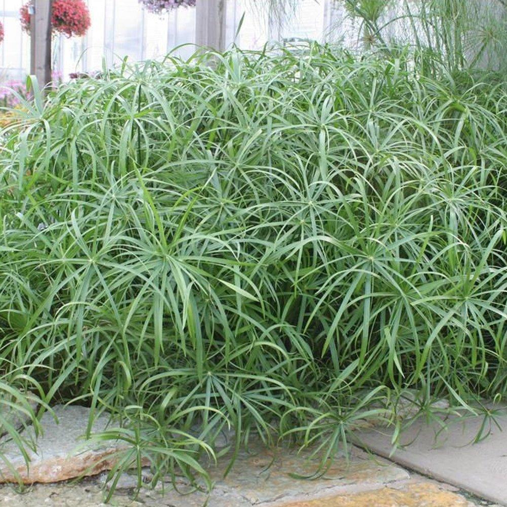Baby Tut 174 Cyperus Grass Plant Growjoy Com