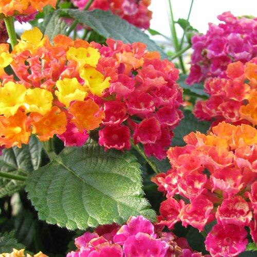 Bandana Cherry Sunrise Lantana Live Plant 2 5 Inch Pot