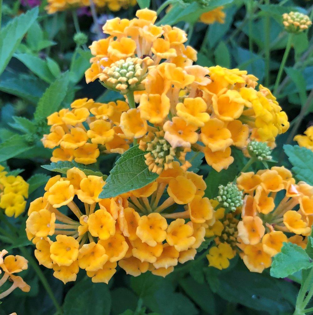 Landscape Bandana Gold Lantana Plants For Sale Free Shipping